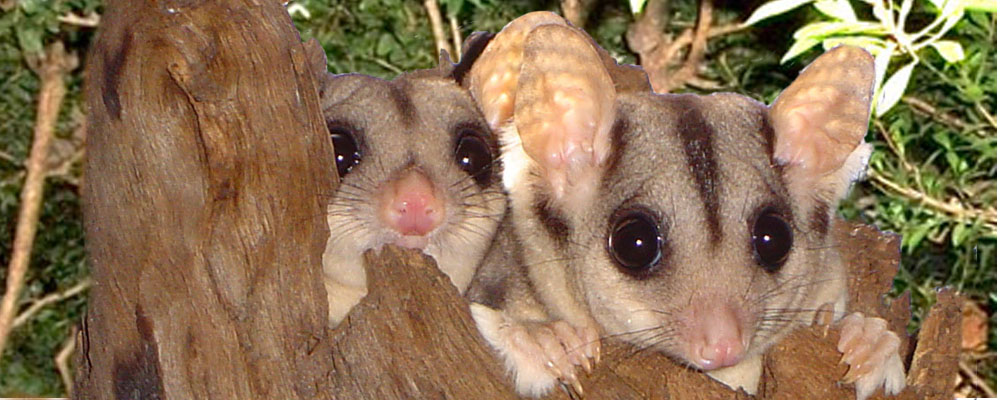 Two young sugar gliders